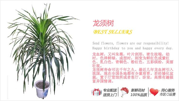 龙须树—快送鲜花网 绿植花卉 异地送花 网上送鲜花 盆栽花卉 办公室绿植 市内绿植